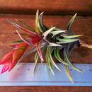 チランジア / ネグレクタ L ※花芽付き (T.neglecta)