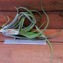 チランジア / ストレプトフィラ × ファシクラータ (T.streptophylla × T.fasciculata)