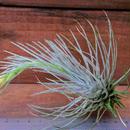 チランジア / プルモーサ (T.plumosa)  ※開花済株