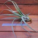 チランジア / パウシフォリア × ストレプトフィラ (T.paucifolia × T.streptophylla)