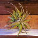 チランジア / ラティフォリア (T.latifolia)