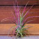 チランジア / プルイノーサ × コルビー (T.pruinosa × T.kolbii)