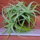 チランジア / カクティコラ × プルプレア (T.cacticola × T.purpurea)