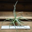 チランジア / カリギノーサ (T.caliginosa) ※子株付き・蕾付き