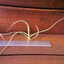 チランジア / クロカータ カッパーペニー (T.crocata 'Copper Penny')