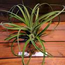 チランジア / カプトメドーサ × コンコロール (T.caput-medusae × T.concolor)