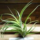 チランジア / カプトメドーサ × ブラキカウロス (T.caput-medusae × T.brachycaulos) ※開花済み株