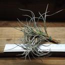 チランジア / クロカータ ブランディワイン (T.crocata 'Brandywine')