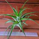 チランジア / フレキシオーサ ヴィヴィパラ (T.flexuosa var. vivipara