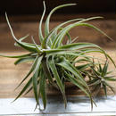 チランジア / ラティフォリア (T.latifolia) ※子株付き
