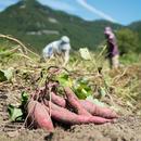 HOMEMAKERS サツマイモ 4kg 2017年収穫