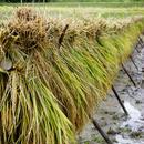 【送料無料】雲潤の里のおいしいお米(特別栽培米ゆうだい21)5㎏