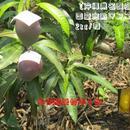 【ご家庭用の良品/6玉入り】*予約受付中!*【沖縄県名護産】国産完熟マンゴー2kg/箱