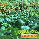 本場イタリアン品種 イタリアンクラシコ【業務用バジル(生)】1Kg/箱