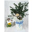 Summer gift/観葉植物【ベンジャミナ・バロック】