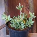 アドロミスクス属 緑の卵群生