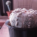 アストロフィツム属大疣兜丸
