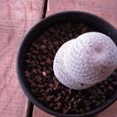 マミラリア属 白鷺