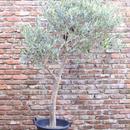 Correggiola 12号果樹鉢  no.170913-1 樹高約160㎝