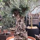 Import Old Olive no.180727-20 <Hojiblanca>