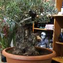 オリーブ古木 盆栽タイプ no.161101-1