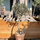 Topiary × Italian terra-cotta no.190308-2