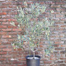 South Australia Verdale 9号果樹鉢 no.170805-2