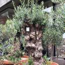 Import Old Olive no.180727-18 <Hojiblanca>