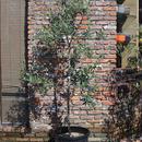 Nocellara del Belice  170413-6