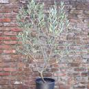 Coratina 9号果樹鉢 no.170805-3