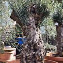 Import Old Olive no.180727-15 <Hojiblanca>