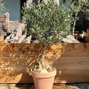 Topiary × Italian terra-cotta no.190308-3