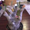 packypodium    inopinatum