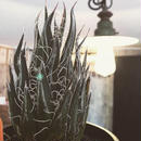 agave   filifera    schigigera    wave