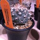 turbinicarpus   牙城丸