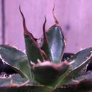 agave   gilbeyi