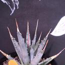 agave    utaensis  eborispina《S S size》