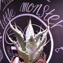 agave     colorata×palmeri(L)