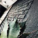 agave     parrasana   globe《M size》