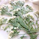 H30年製  アリッサム 【 ホワイト 】15輪 純国産押し花
