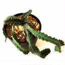 ユーフォルビア ステラータ 飛竜  Euphorbia stellata 10 未発根