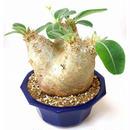 パキポディウム エブレネウム Pachypodium eburneum  №6