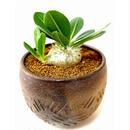 パキポディウム エブレネウム Pachypodium eburneum  №2(白花)