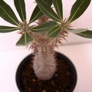 パキポディウム ホロンベンセ Pachypodium horombense No2
