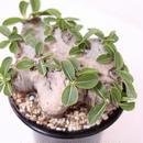 Pachypodium brevicaule パキポディウム  ブレビカウレ 恵比寿笑い  no.3