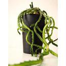 ユーフォルビア ステラータ 飛竜  Euphorbia stellata 12 未発根