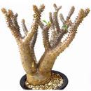 Pachypodium makayense パキポディウム マカイエンセ 魔界玉