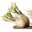 Pachypodium Gracilius パキポディウム  グラキリス  №12