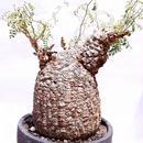 オペルクリカリア パキプス