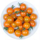 -井出トマト農園- ミニトマト ピッコラカナリア